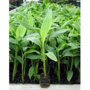 Musa Basjoo - Japanische Faser-banane art65743