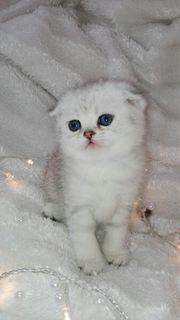 Scottish Fold Kätzchen Mädchen
