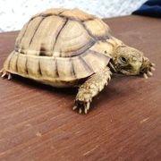 schildkröten kleinmannis