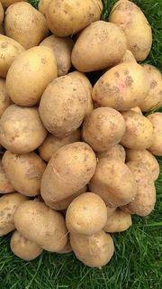 Agria Kartoffeln und Markisen zu