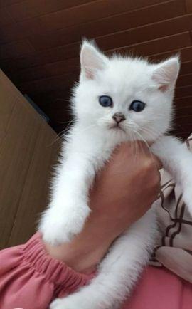 Chinchilla Katze Tiermarkt Tiere Kaufen Quoka De