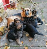 - reinrassige Schäferhund-Welpen geboren am 05