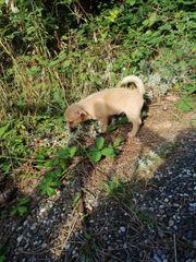 3 Pomchi Chihuahua Zwergspitz Welpen