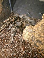 Aphonopelma seemanni Weibchen