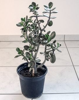 Pflanzen - Geldbaum Pfennigbaum Dickblatt Crassula ovata