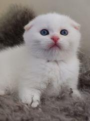 BKH Kitten British Kurzhaar Babies