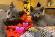 Russisch Blau Kitten Reinrassig