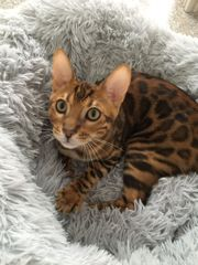 Reinrassiger Bengal Kitten
