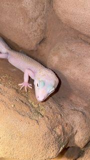 Leopard Gecko Weibchen White Yellow
