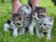 4 wunderschöne BKH kitten Abgabebereit