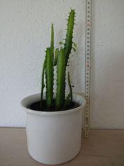 Euphorbia Trigona Wolfsmilch Kaktus 5-stämmig