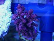 SPS Korallen Rhein-Main update 6