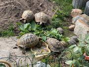 griechische landschildkröten zuchtpaare