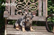 Französische bulldogge sonderfabe
