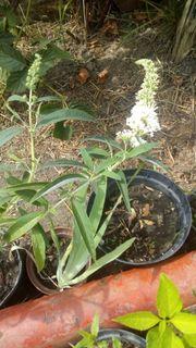 Biete Sommerflieder Schmetterlingsflieder Weiß Blumen