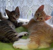 Katzenbabys Mischlingskatzen
