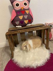 Mini Lop Kaninchen Weibchen sucht