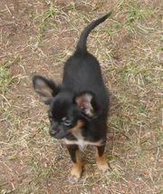 Süße kleine Chihuahuahüdchen