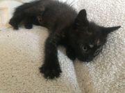 Liebes kleines Kätzchen per sofort