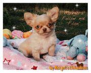 Wunderschöne Chihuahua Bubis aus Seriöser