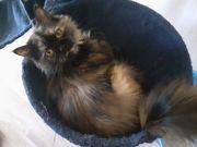Perset Katze sucht Zuhause