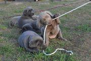 wunderschöne Labrador-Welpen in Silber und