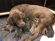 Labrador Welpen sind jetzt geboren