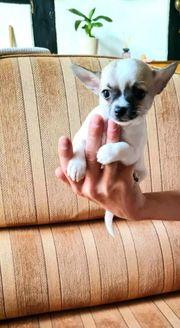 Sehr schöne Chihuahua Welpen