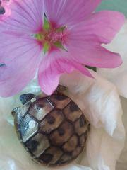 Griechische Landschildkröten Nachzuchten 2019 THB
