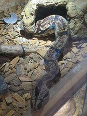 1 1 Boa constrictor longicauda