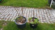 Blauglockenbaum Palownia zu verkaufen