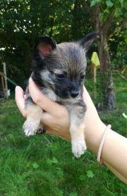 Chihuahuawelpen Abgabe Ende Juli