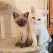 Thai- Siam Kätzchen