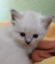 Ragdoll Kitten Kater