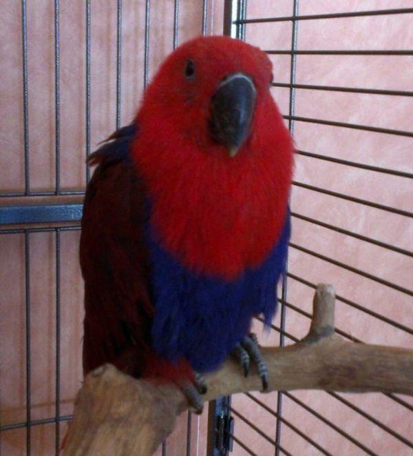 Papageien Zuchtpaar zahme Edelpapageien 8-jährig