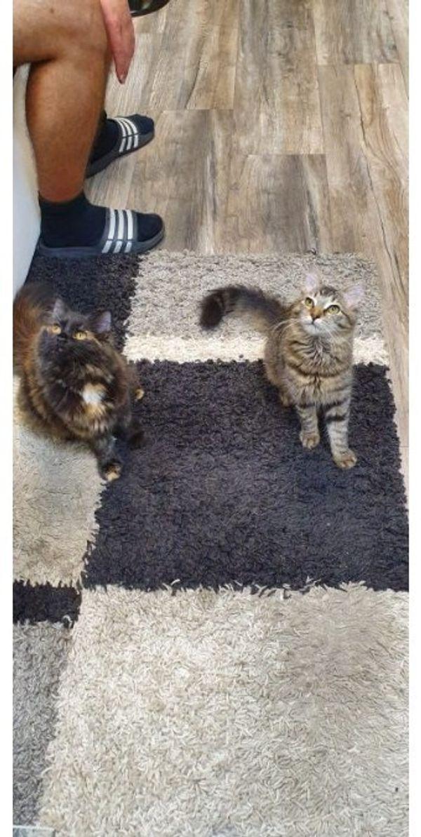 5 Monate alte Kitten ab
