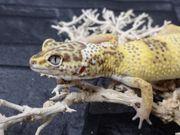 Leopardgecko 0 1 Lemon Frost