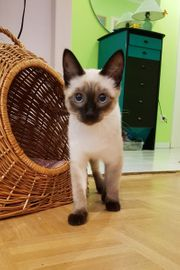 Siam Kätzchen Siamkätzchen Siammädel 6