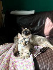 Siam Kater und Bengal Katze