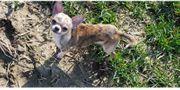 Verkaufe kleine Chihuahua Hündin