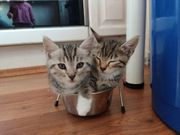 Bengal - BKH Mix Kitten Katze