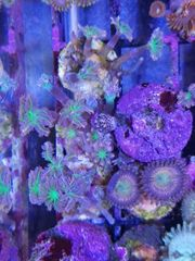 Meerwasser Cladulavia tricolor Weichkoralle
