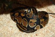 Königspython Python regius Albino Classic