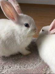 2 süsse hermelin Kaninchen mit