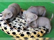 Süße Silber Labradorwelpen aus HD-ED-PL-