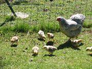Hühnerküken Küken Mixe