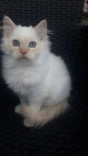 Heilige Birma Kitten Kätzchen Kater