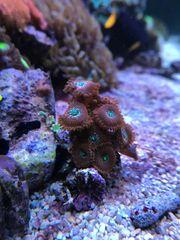 Zoanthus Magicians Meerwasser Korallen