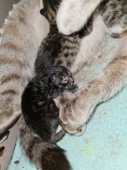 babykatzen maine coon neva masquarade