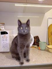 Katze Russisch Blau Mix 1